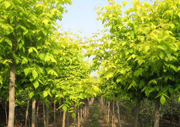 复叶槭嫁接什么树?金叶复叶槭嫁接技术