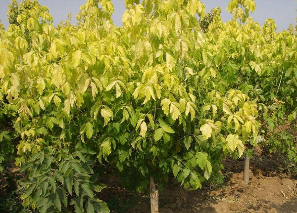 金叶复叶槭如何繁殖?金叶复叶槭繁殖技术