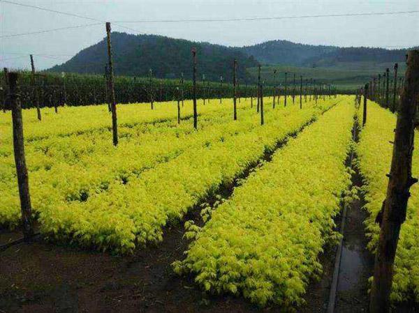 金叶复叶槭如何修剪?复叶槭修剪时间和方法