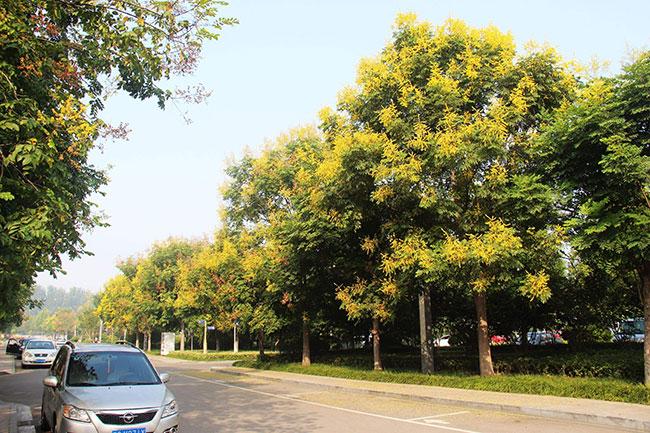 栾树秋季行情怎么样?栾树的种植前景