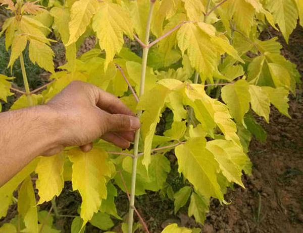 黄金复叶槭定杆多高?金叶复叶槭定杆标准