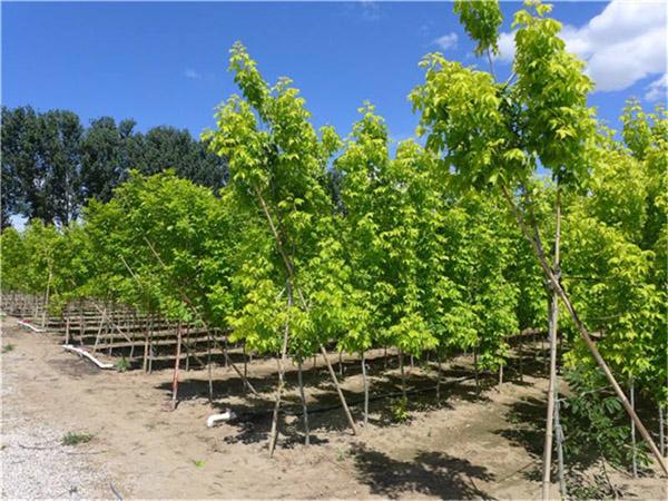 金叶复叶槭怕水吗?复叶槭栽植养护方法