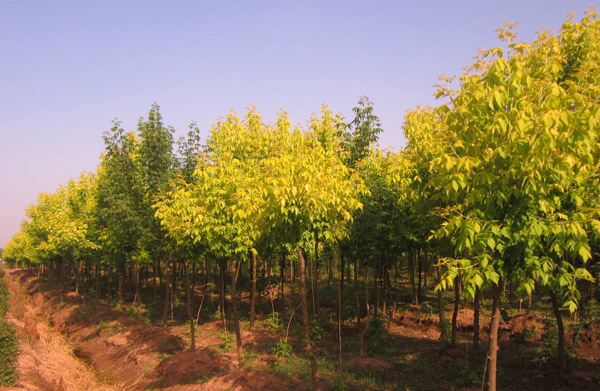 金叶复叶槭前景如何?金叶复叶槭市场前景