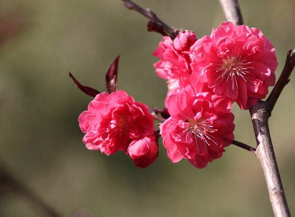 红叶碧桃种植间距多少?红叶碧桃种植技术