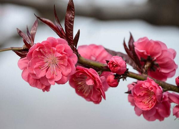 红叶碧桃如何种植?红叶碧桃种植时间方法