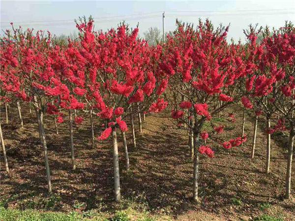 红叶碧桃种植效益如何?红叶碧桃种植前景