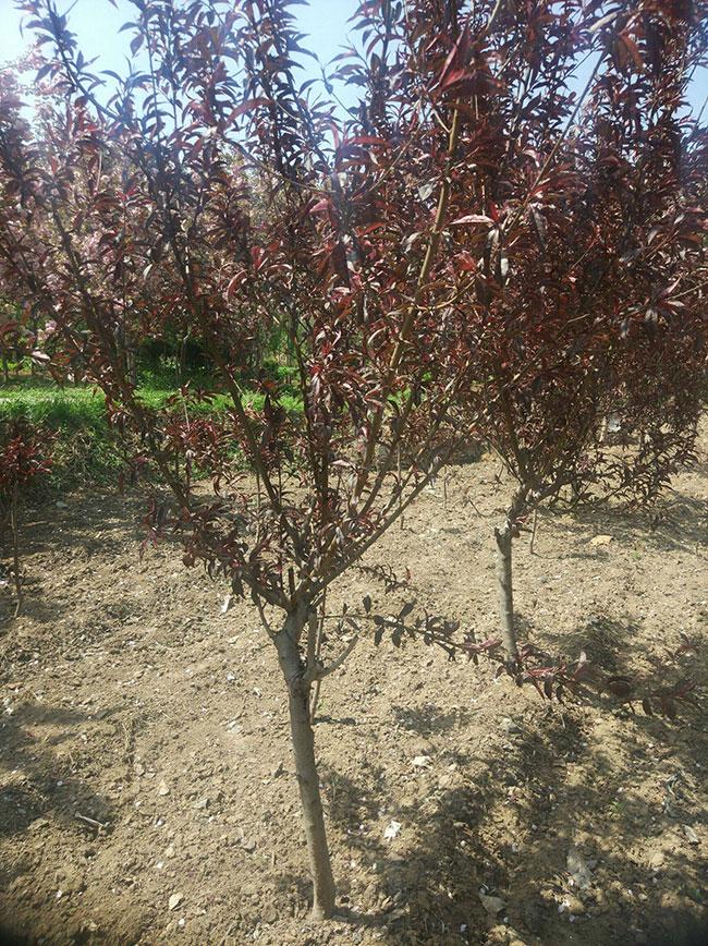 红叶碧桃如何种植?红叶碧桃的栽植技术