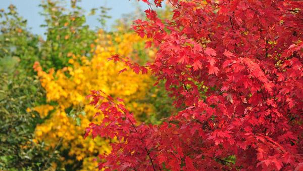 知道你关注秋季行情,彩叶树热销榜揭榜!
