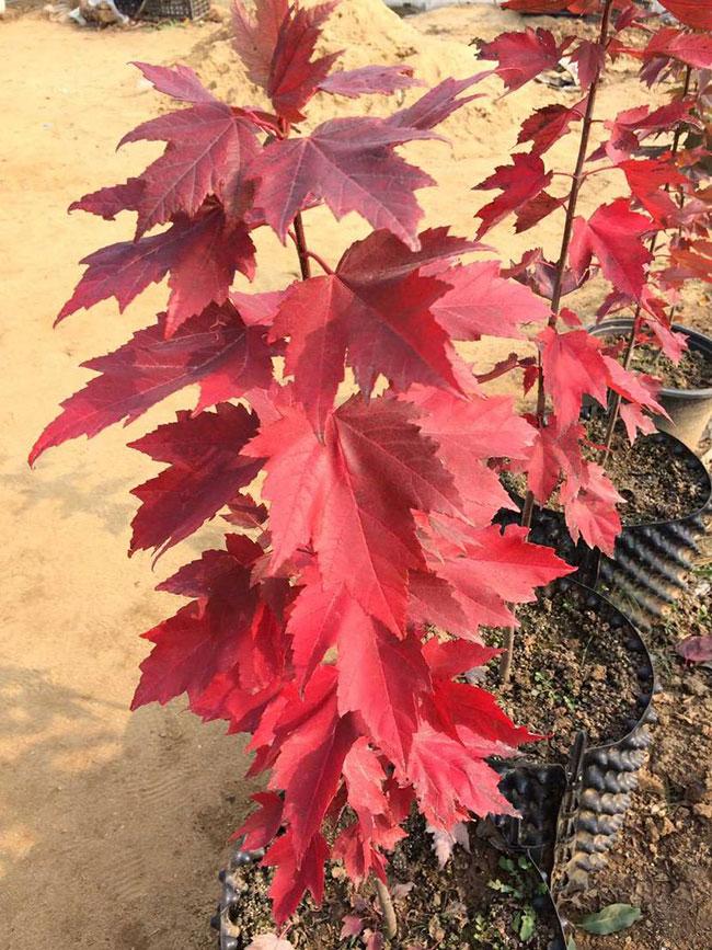 中国红枫的品种有哪些?中国枫树品种简介