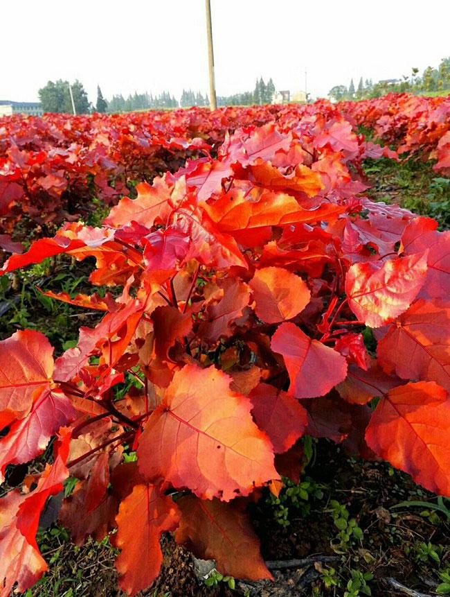 红叶杨园林用途有哪些?红叶杨的园林价值