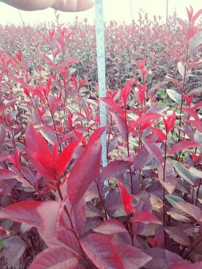 紫叶矮樱有何观赏特性?紫叶矮樱园林价值