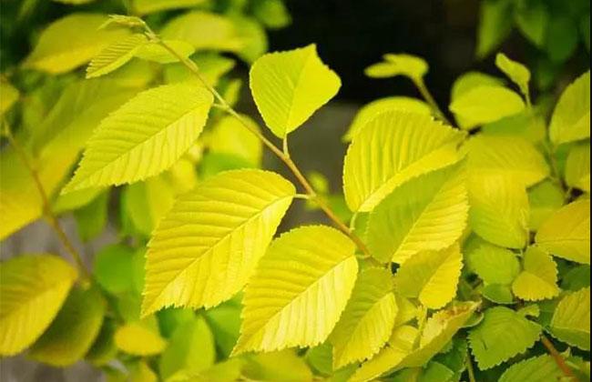 金叶榆枝怎么养?金叶榆的种植养护技术