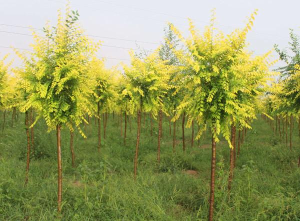 金叶榆虫害有哪些?金叶榆常见病虫害防治方法