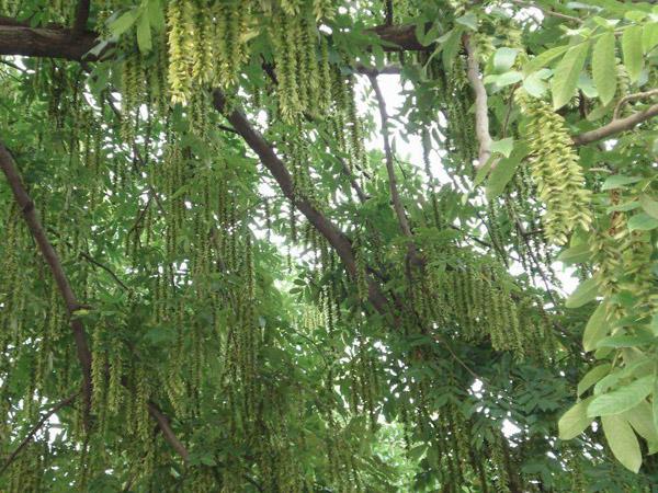 榆树的经济价值怎么样?榆树有发展前景吗?