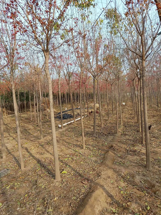 山东菏泽林业产业全面发展