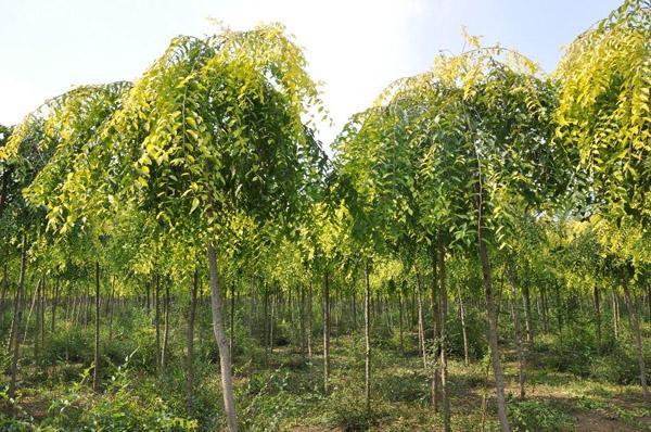 金叶榆有几种繁殖方法?金叶榆主要繁殖方法