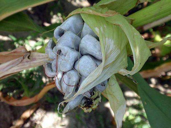 玉米黑粉菌可以吃吗?玉米黑粉菌的作用