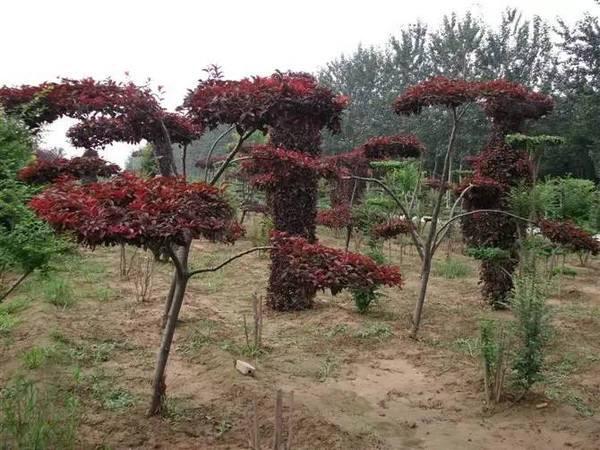 密枝红叶李如何繁育?密枝红叶李扦插技术