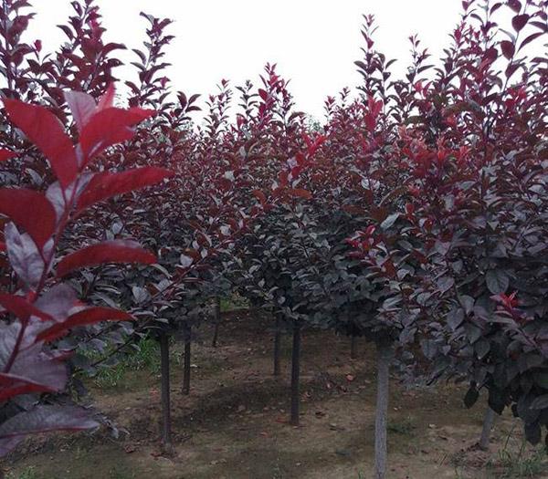 密枝红叶李怎样种植?密枝红叶李种植要点