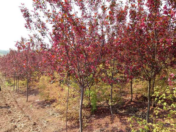 红叶李适合庭院种植吗?红叶李种植时间及管理