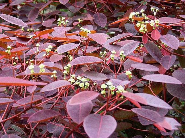 美国紫叶红栌怎样栽培?红栌栽培管理技术