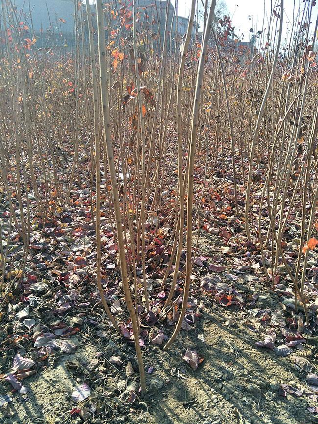 美国紫叶红栌有什么用?紫叶红栌园林应用价值