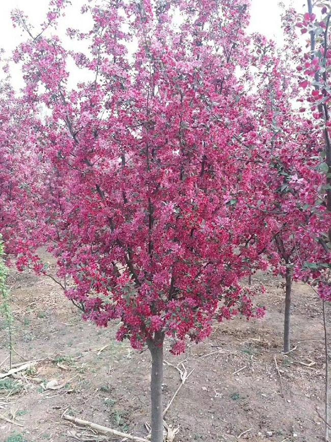红叶樱花怎么扦插?樱花树扦插时间和方法