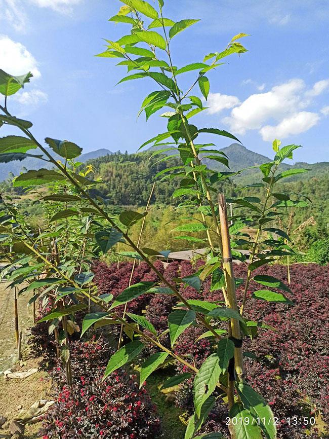 樱花树怎么栽容易成活?樱花栽植的注意事项