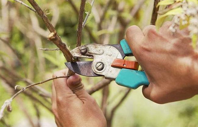 科普——园林整形修剪
