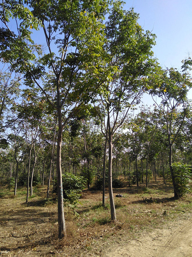 黄山栾树缺点有哪些?黄山栾树的应用价值