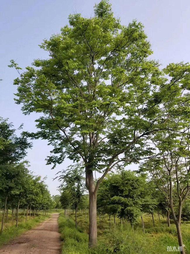 栾树园林用途有哪些?栾树的园林用途简介