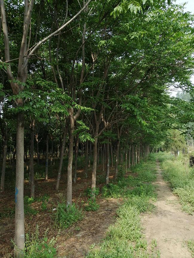种植栾树前景怎么样?南栾树和北栾树哪个品种好?