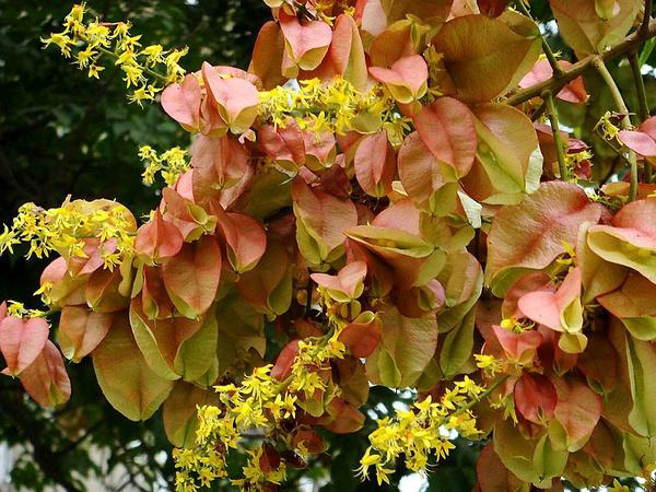 栾树几年树龄就开花?栾树花有蜜吗?