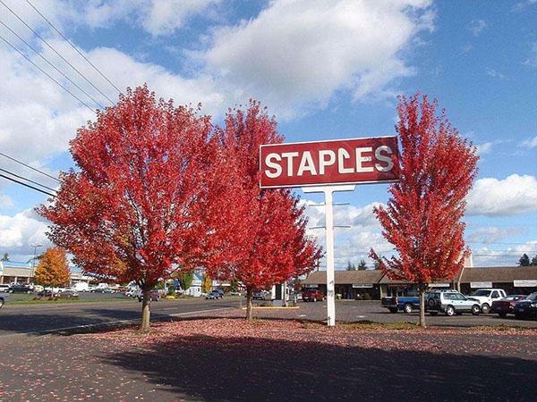 美国红枫怎么管理?美国红枫种植技术
