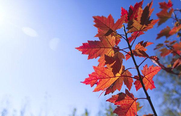 美国红枫嫁接用什么砧木好?红枫嫁接技术
