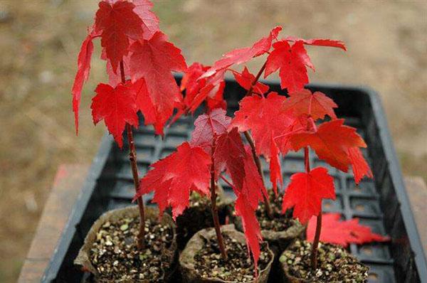 美国红枫虫害有哪些?美国红枫病虫害解决方案