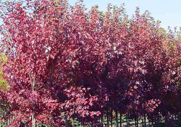 美国红枫哪个品种好?美国红枫品种介绍