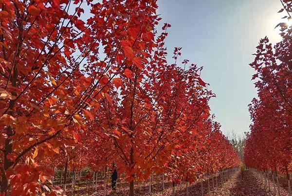 红枫树怎么繁殖?美国红枫繁殖技术