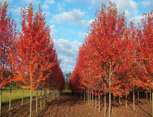 美国红枫怎么种?美国红枫的栽培技术