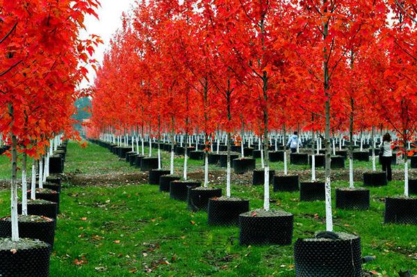 美国红枫前景如何?哪个红枫品种有市场前景?