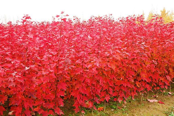 秋火焰红枫如何管理?秋火焰红枫管理方法
