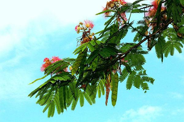 怎么种植合欢树?合欢树的种植方法