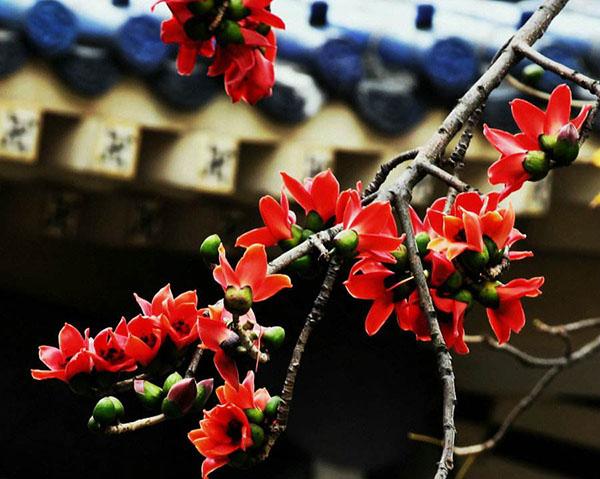 木棉花树有什么作用?木棉花象征什么意思?