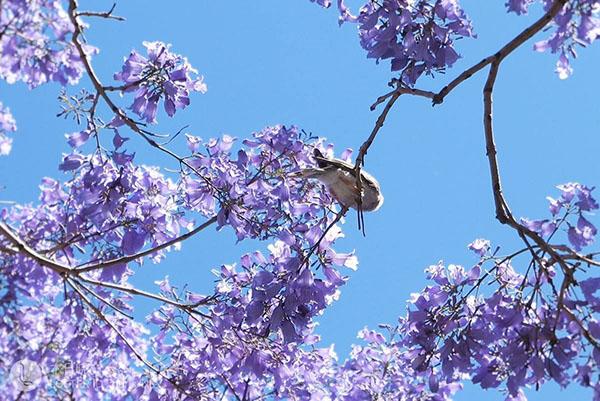 蓝花楹树如何栽培?蓝花楹种植技术