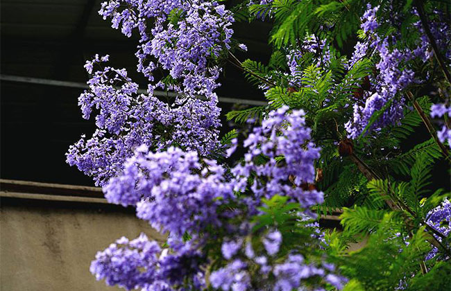 蓝楹花的花语是什么?蓝花楹有什么寓意?
