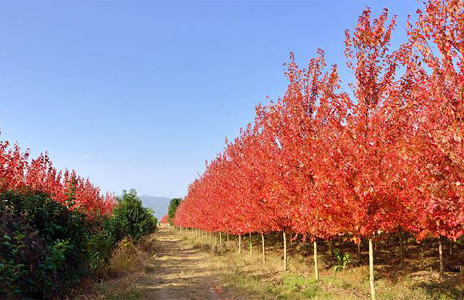 家里庭院种美国红枫好吗?庭院种红枫树什么品种合适?