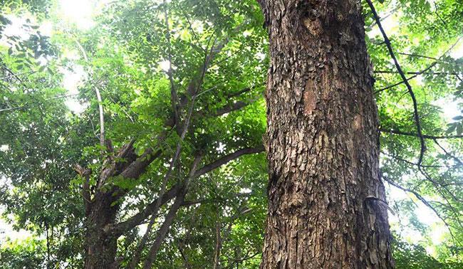 紫檀树的种植前景和效益