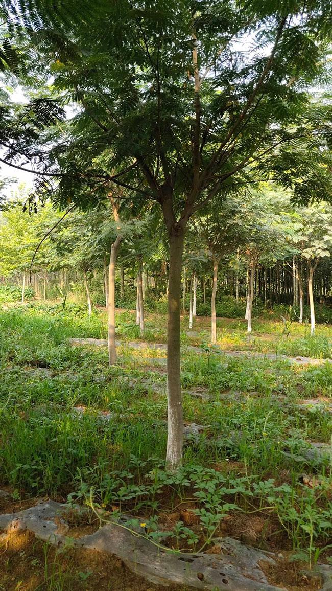 合欢树适合什么季节种?合欢树种植时间