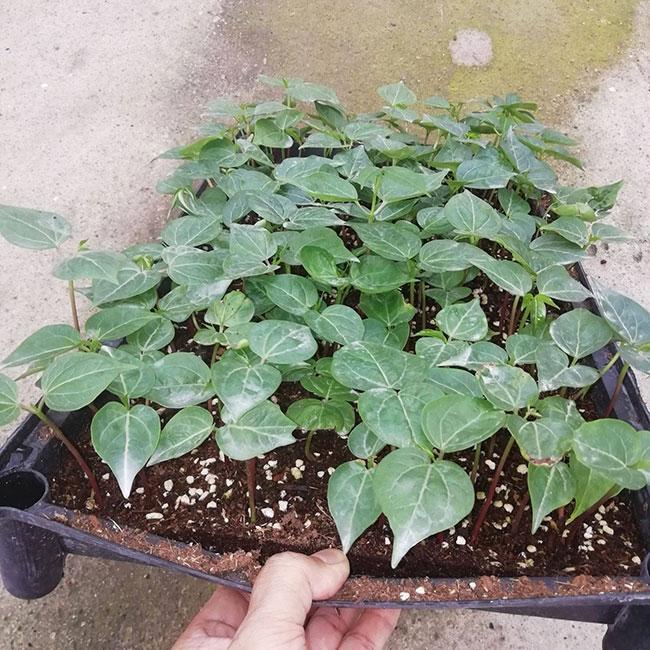 木棉花适合在哪里种植?木棉树适合北方种植吗?