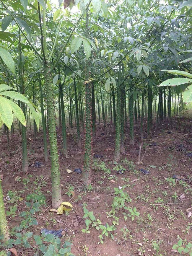 木棉花的种类有哪些?木棉花的品种介绍